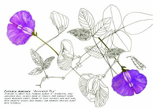 Jauneth-Skinner-©-2019-cliteria-mariana-butterfly-pea-botanical-art-illustration
