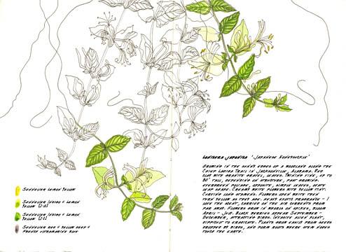 Jauneth-Skinner-©-2019-lonicera-japonica-japanese-honeysuckle-botanical-art-illustration