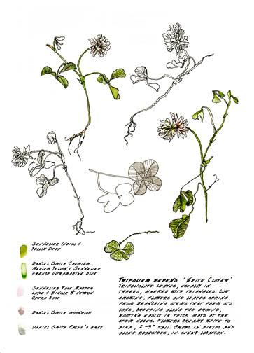Jauneth-Skinner-©-2019-trifolium-repens-white-clover-botanical-art-illustration