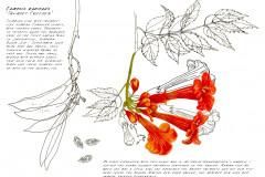 Jauneth-Skinner-©-2019-campsis-radicans-trumpet-vine-botanical-art-illustration