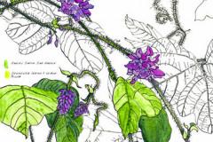 Jauneth-Skinner-©-2019-pueraria-montana-kudzu-botanical-art-illustration