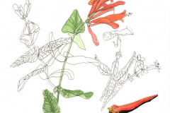 jauneth-skinner-©-2019-lonicera-sempervirens-coral-honeysuckle-study-botanical-art-illustration