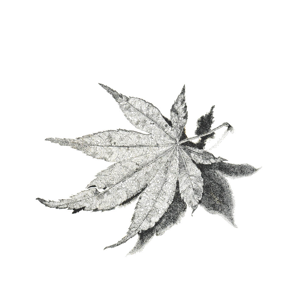 jauneth-skinner-©-coral-bark-maple-leaf-pen-and-ink-botanical-art-illustration