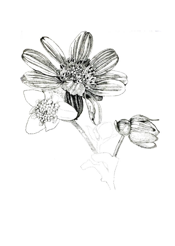 jauneth-skinner-©-rosinweed-1-pen-and-ink-drawing-botanical-art-illustration