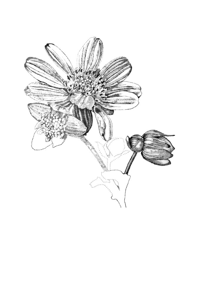 jauneth-skinner-©-rosinweed-2-pen-and-ink-drawing-botanical-art-illustration