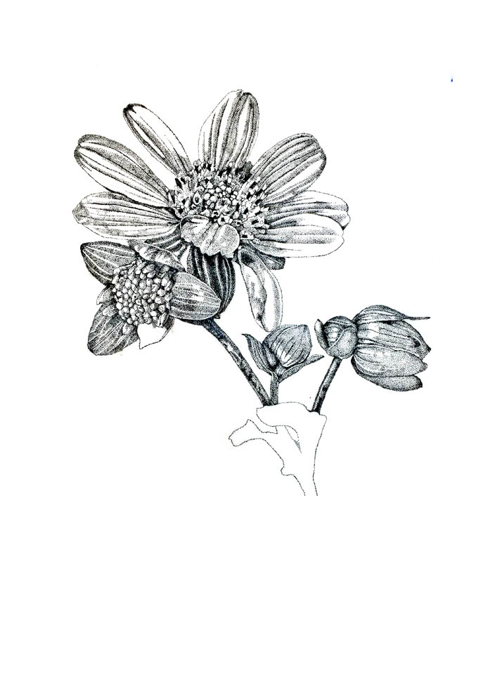 jauneth-skinner-©-rosinweed-3-pen-and-ink-drawing-botanical-art-illustration