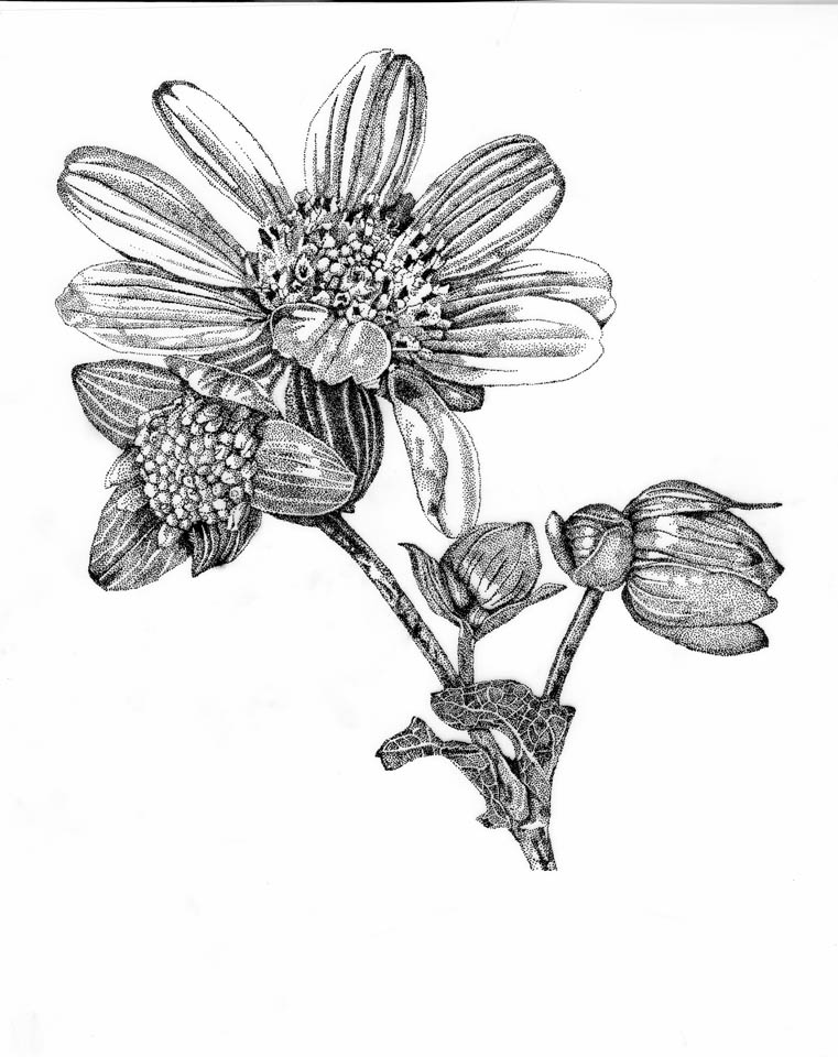 jauneth-skinner-©-rosinweed-pen-and-ink-botanical-art-illustration-4