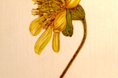 jauneth-skinner-©-rosinweed-watercolor-painting-on-vellum-botanical-art-illustration