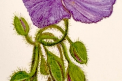 jauneth-skinner-©-spiderwort-watercolor-painting-botanical-art-illustration-detail