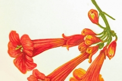 jauneth-skinner-©-trumpet-vine-watercolor-painting-botanical-art-illustration-detail