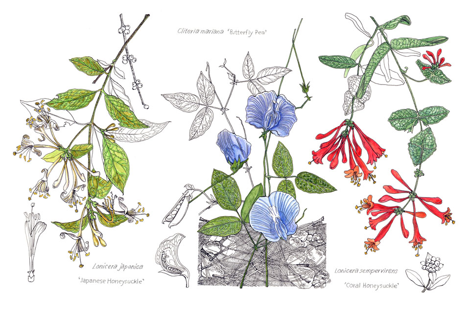 jauneth-skinner-©-2019-botanical-art-illustration-field-study-1