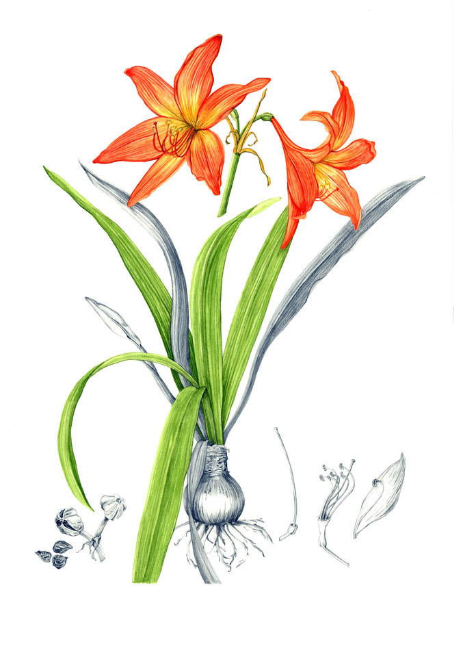 jauneth-skinner-©-2019-hippeastrum-punecium-amaryllis-botanical-art-illustration