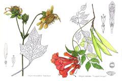 jauneth-skinner-©-2019-botanical-art-illustration-field-study-2