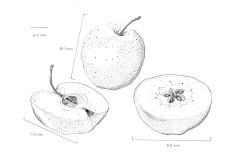 jauneth-skinner-©-2019-golden-delicious-apple-botanical-art-illustration