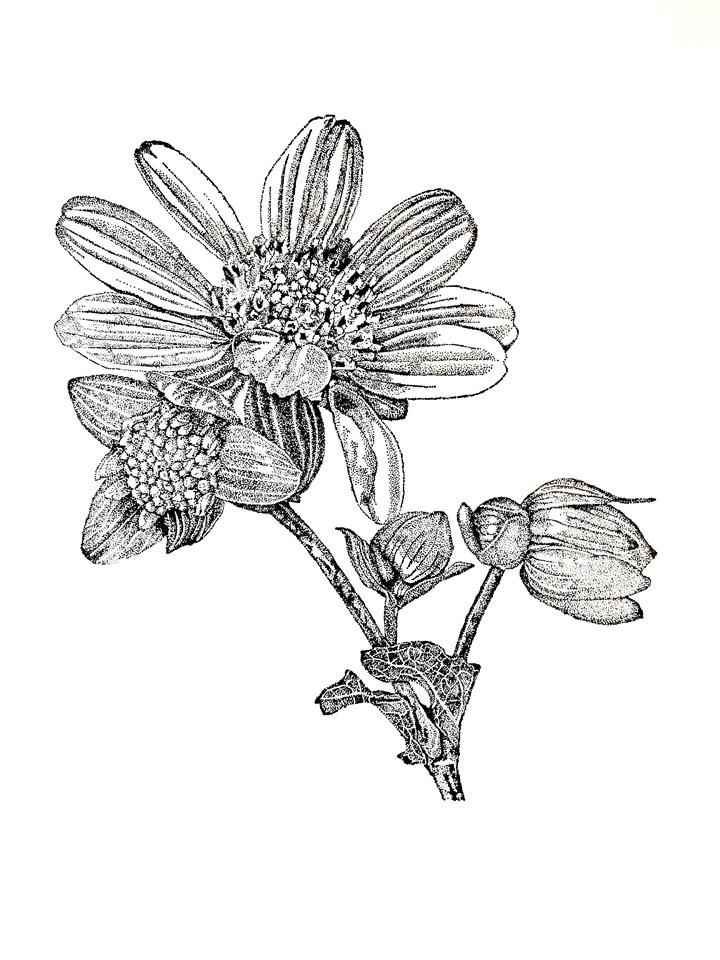 jauneth-skinner-©-2020-1-polymnia-uvedalia-bearsfoot-bw-etching-botanical-art-illustration