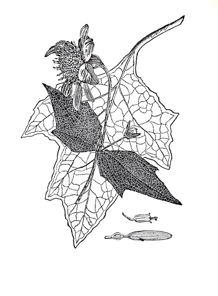 jauneth-skinner-©-2020-2-polymnia-uvedalia-bearsfoot-etching-botanical-illustration