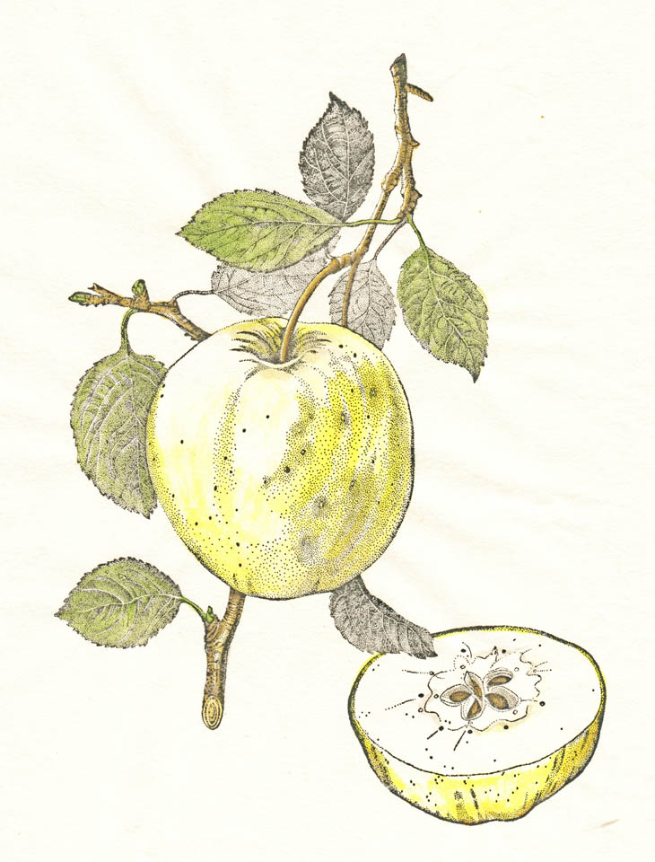 jauneth-skinner-©-2020-golden-delicious-apple-etching-botanical-art-illustration