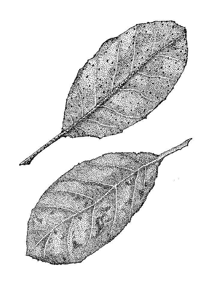 jauneth-skinner-©-elaeagnus-leaves-pen-and-ink-drawing-botanical-art-illustration