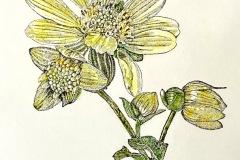 jauneth-skinner-©-2020-3-polymnia-uvedalia-bearsfoot-etching-hand-colored-botanical-art