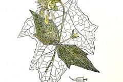 jauneth-skinner-©-2020-4-polymnia-uvedalia-bearsfoot-etching-botanical-illustration