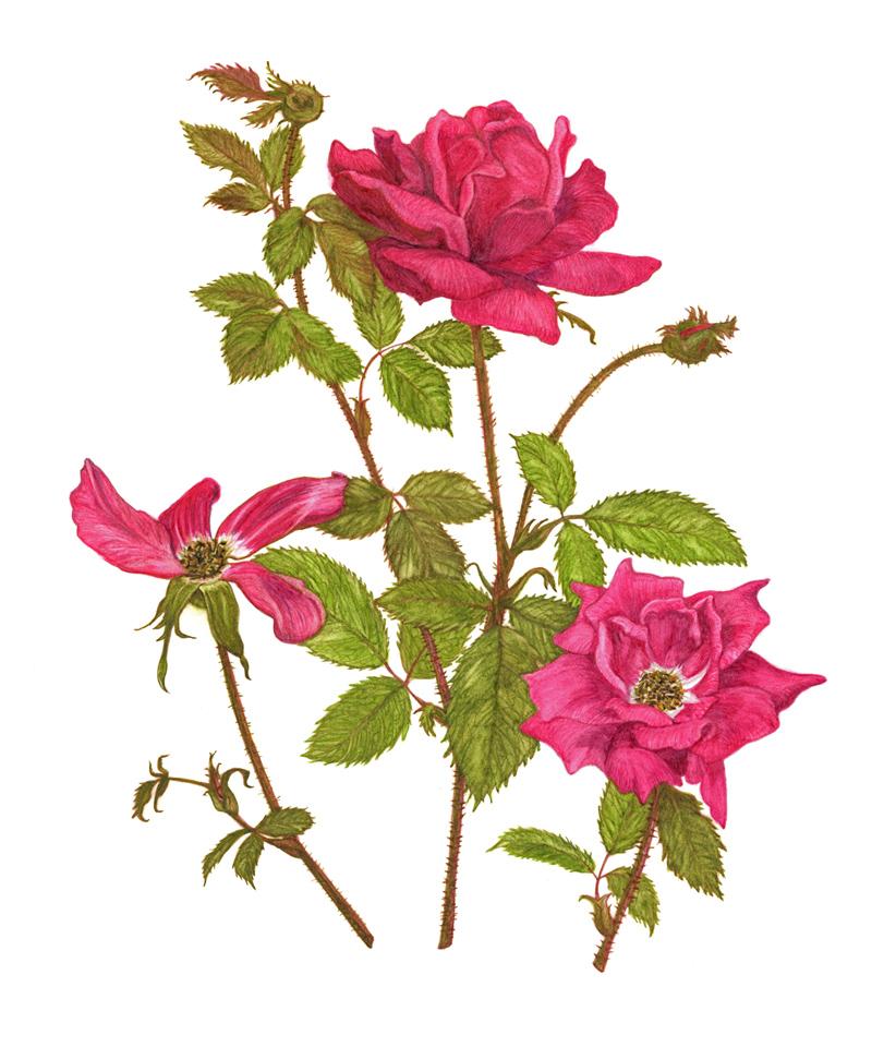 jauneth-skinner-©-2019-rosa-knock-out-roses-botanical-art-illustration