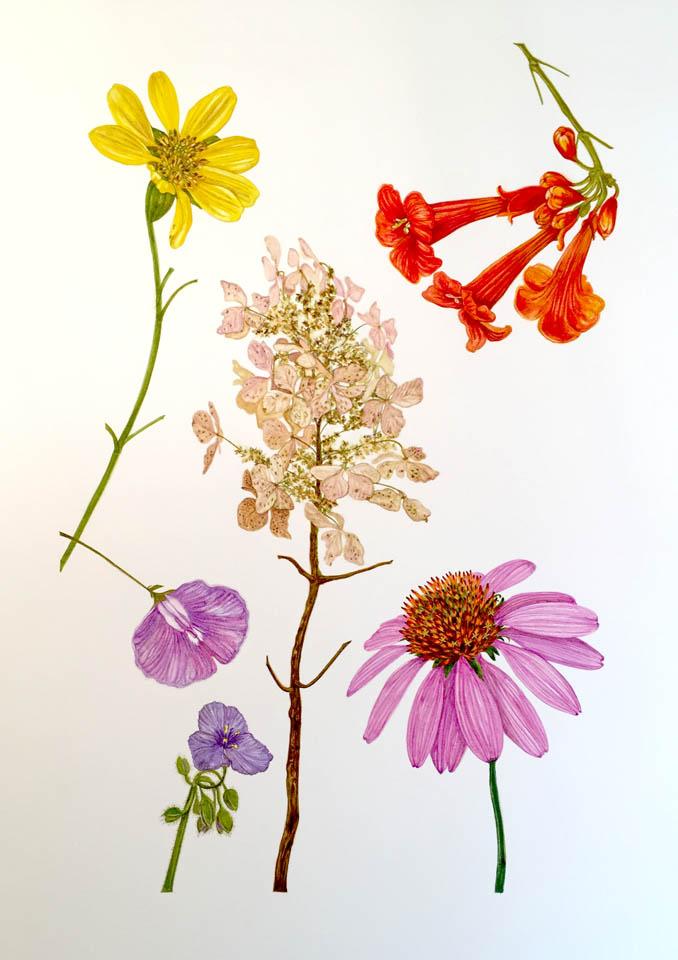 jauneth-skinner-©2017-flower-studies-botanical-art-illustration-