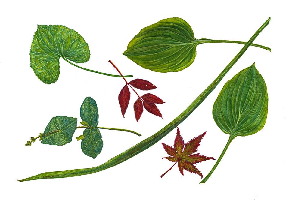 jauneth-skinner-©-2018-allium-ampeloprasum-leek-botanical-art-illustration